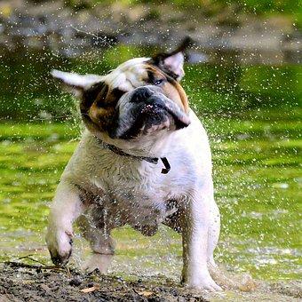 Bulldog, English People, Water, Highlands And Islands