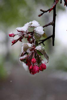 Flower, Snow, Frozen, Red, March
