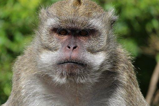 Monkey, Mauritius, Face, Grim