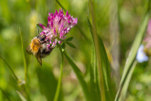 Bee, Nectar, Flowers, Nature, Insect, Macro, Pollen
