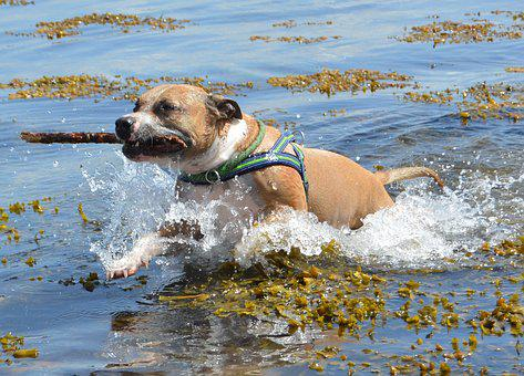 Dog, Amstaff, Pitbull, American Staffordshire, Water