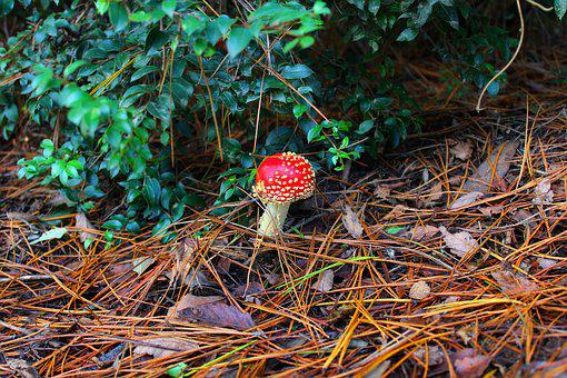 Mushroom, Red, Nature, Forest, Leaf, Green, Colorful
