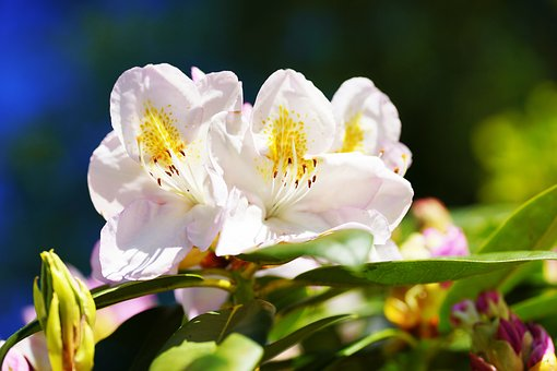 Rhododendron, White, Early Summer, Garden, Nature