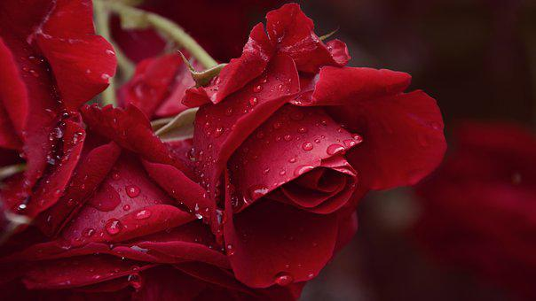 Rose, Rain, After The Rain, Flower, Just Add Water