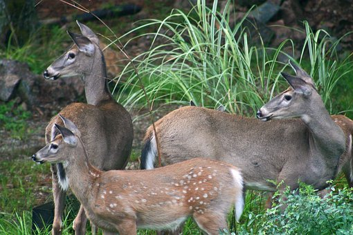 Deer, Whitetail Deer, Wildlife, Outdoors, Woods, Wild