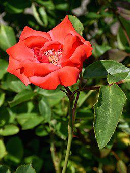 Rose, Blossom, Bloom, Flower, Wild Rose, Red, Nature