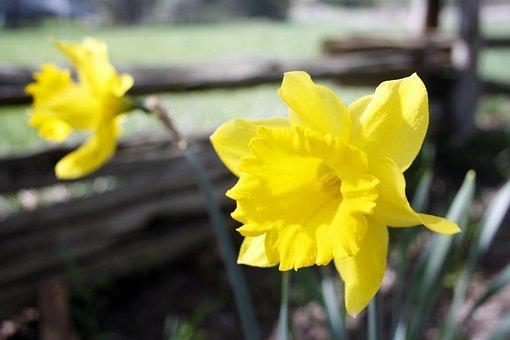 Flower, Daffodil, Yellow, Spring, Nature, Garden, Bloom