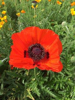 Poppy, Anemone, Red, Flower, Spring, Blossom, Garden