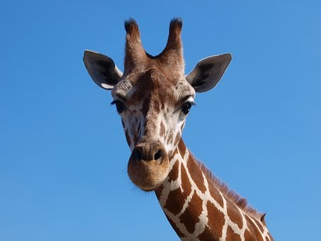 Giraffe, Africa, South Africa, Large Animals, Safari