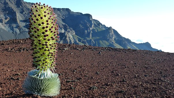 Silver Thistle, Volcanic Rock, Maui