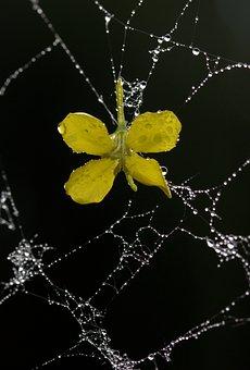 Spider Web, Petals, Yellow, Dew, Drops, Flower, Garden