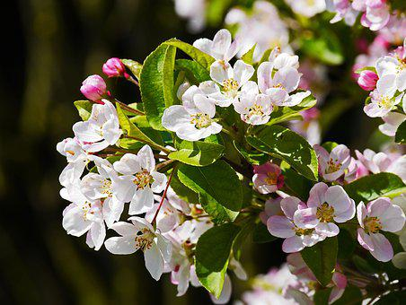 Apple Blossom, Branch, Flowers, White, Pink, Apple Tree