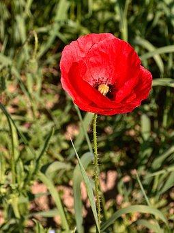 Poppy Flower, Reported, Nature, Flower, Klatschmohn