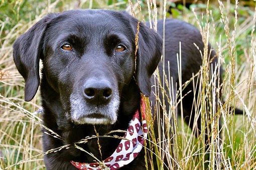 Labrador, Grass, Scarf, Dog