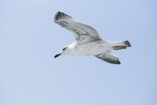 Seagull, Bird, Background, Peace, Blue, Nature, Animal