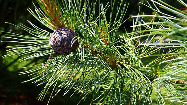 Pine Cone, Iglak, Tree, Nature, Sprig, Coniferous
