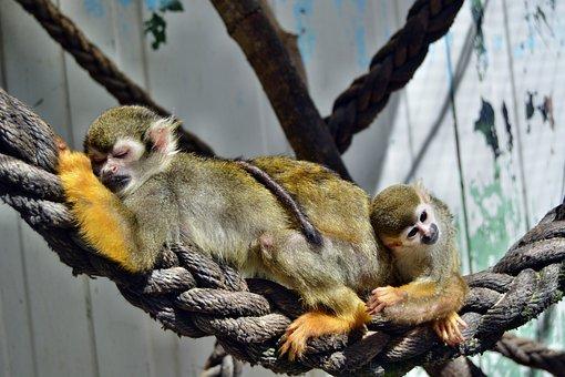 Monkey, äffchen, Zoo, Monkey Family, Baby, Mammal