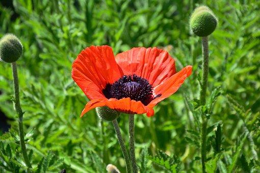 Poppy, Red Poppy, Poppy Flower, Blossom, Bloom
