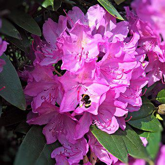 Rhododendron, Blossom, Bloom, Pink, Flowers Stamens