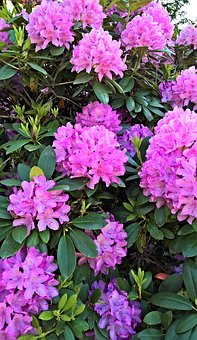 Rhododendron, Plant, Bush, Many Flowers, Pink