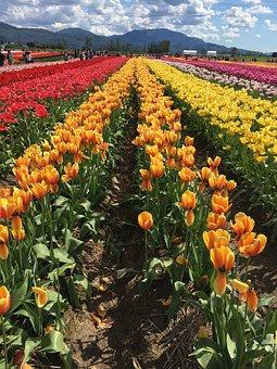 Clouds, Flowers, Tulips, Field