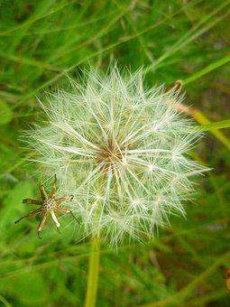 Seeds, Nature, Dandelion, Natural, Macro, Field