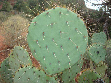Cactus, Prickly, Pear, Prickly Pear