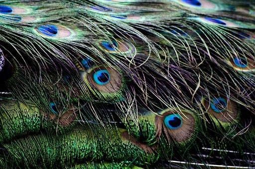 Peacock, Pen, Detail, Ave, Color, Nature, Beauty