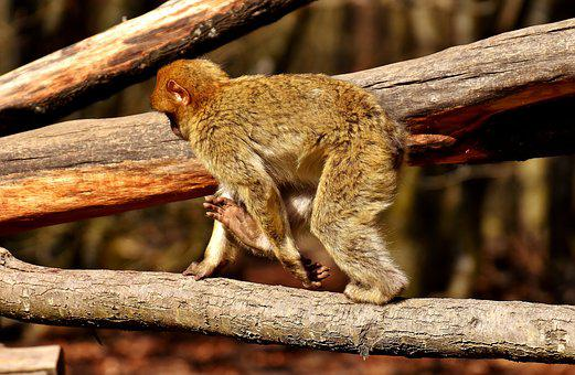 Barbary Ape, Play, Cute, Endangered Species
