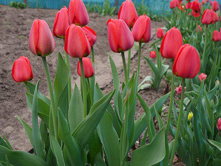 Tulips, Red Tulips, Red Flowers, Tulip Field, Red