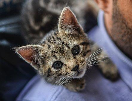 Kitten, Cat, Pet, Animal, Kitty, Domestic, Young, Fur