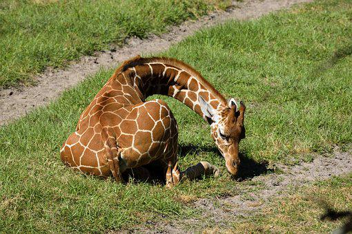 Giraffe, Animal, Wildlife, Zoo, Reserve, Outdoors
