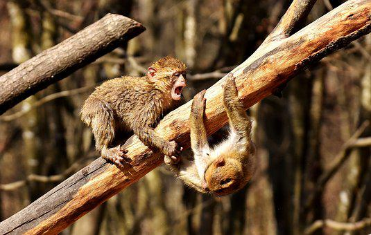 Berber Monkeys, Play, Cute, Endangered Species