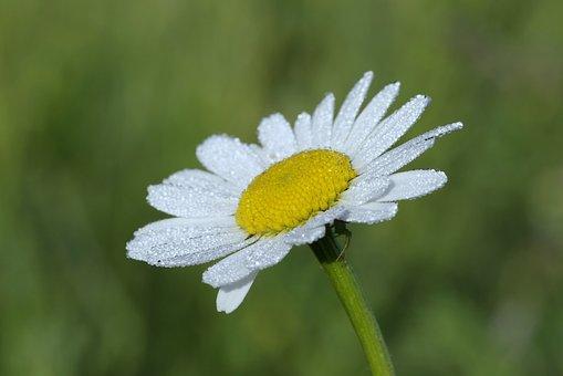 Daisy, White, The Petals, Rosa, Drops, Water, Morning