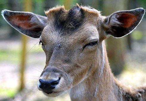 Fallow Deer, Nose, Fenced, Wild, Animal, Curious
