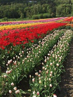 Tulips, Field, Red, Flower, Spring, Garden, Blossom