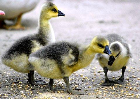 Chicks, Fluffy, Yellow, Black, Plumage, Fluff, Animal
