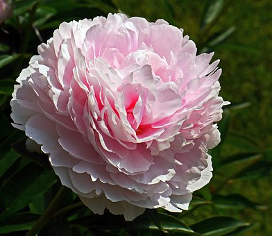 Peony, In Full Bloom, Blossom, Bloom, Petals, Spherical