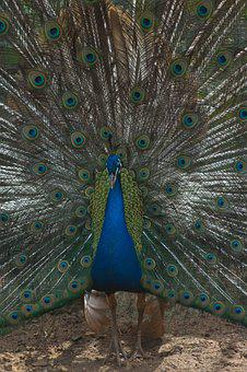 Peacock, Tail, Colors, Blue, Zoo, Nature, Animal World