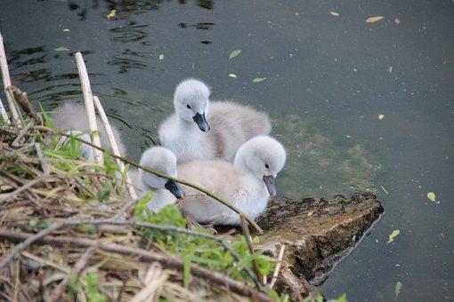 Swan Chicks, Swan, Swans, Water Bird, Hatching, Nest