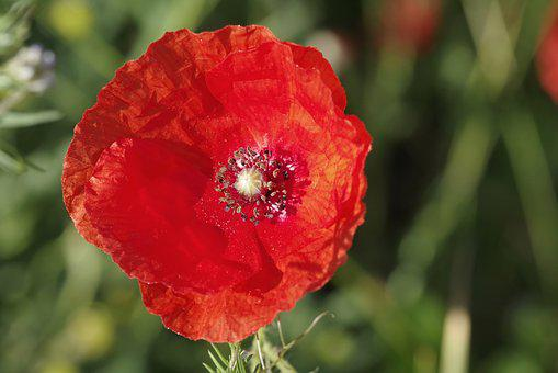 Poppy, Flower, Red, The Interior Of The, Pollen