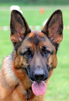 German Shepherd Dog, Bitch, Portrait