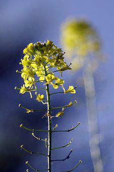 Rapeseed, Flower, Reflection, Single, Yellow