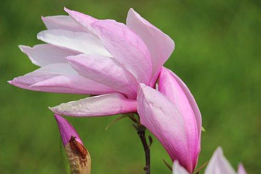 Red, Magnolia, Blossom, Bloom