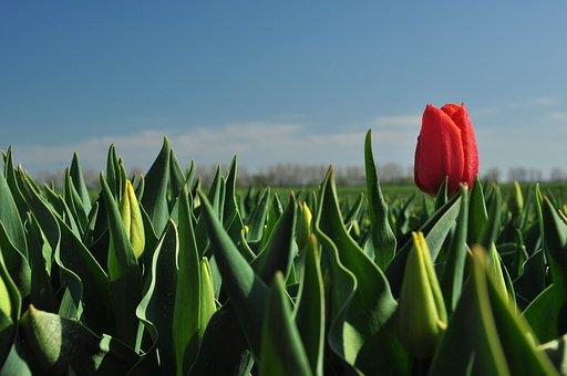 Tulip, Red, Field Of Flowers, Tulip Field