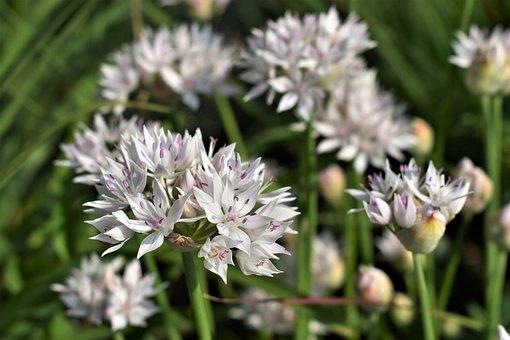 Ornamental Onion, White, Blossom, Bloom, Flower, Nature