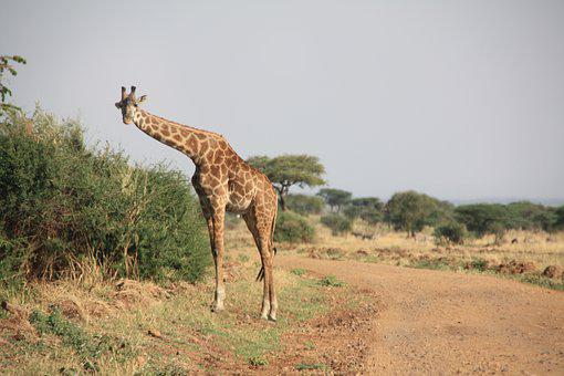 Giraffe, Africa, Safari, Animal, National Park