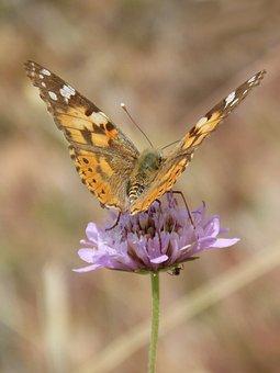 Vanessa Cardui, Butterfly, Flower, Libar, Detail