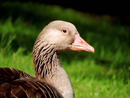 Greylag Goose, Lying, Meadow, Duck Bird, Nature, Animal