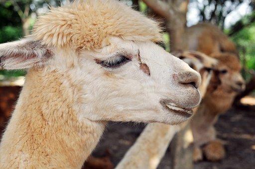 Llama, Pet, Zoo, Cuteness, Happy Valley Race Course